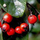 Wild Red Berries by sandysartstudio