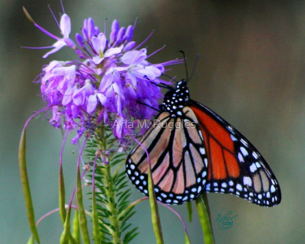 Butterfly On Bee Plant by Arla M. Ruggles