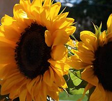 NATURAL LIGHT SUNFLOWERS by pjm286