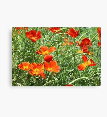 Mexican Asters Canvas Print