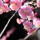 Plum blossom 梅 by Jenny Hall