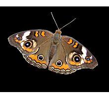 Common Buckeye Butterfly Photographic Print