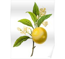 Botanical Print, Lemon by Redoute Poster