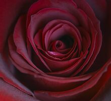Velvet red rose by Trisha Mita
