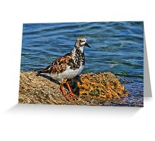 Ruddy Turnstone Greeting Card