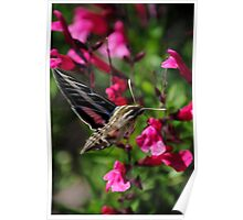White-Lined Sphinx Moth on Salvia greggii Poster