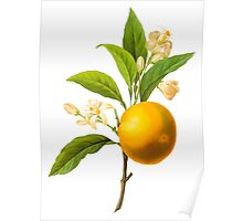 Botanical Print, Orange by Redoute Poster