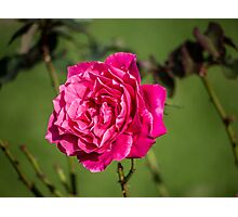Rose, intense and voluptuous...... Photographic Print