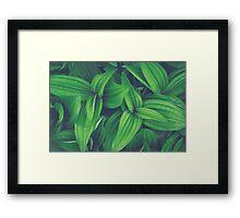 Corn Lily Framed Print