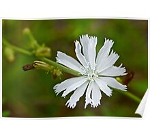 White Chicory  Rare Color Phase   Cichorium intybus Poster