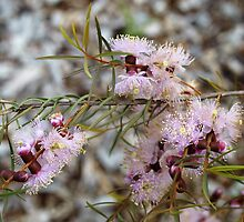 Melaleuca in Pink by kalaryder