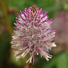 Mulla Flower in the Park by kalaryder