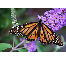 Monarch Butterfly on Lilacs Photographic Print