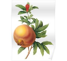 Botanical Print, Pommegranate by Redoute Poster