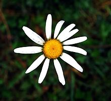 White daisy by cathysroom