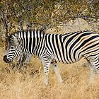 Burchell's Zebra by Jan Fijolek