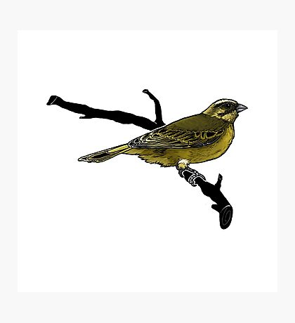 Yellow Finch Photographic Print
