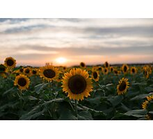 Sunflower and sunset Photographic Print