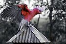 Dancing Galah by Adam Le Good