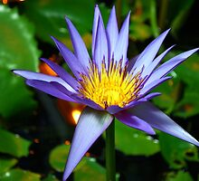 Water lily by cathysroom