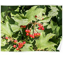 Leaves and berries  viburnum opulus close-up Poster