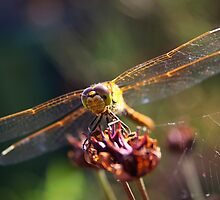Golden Wings of A Dragonfly by Jo Nijenhuis