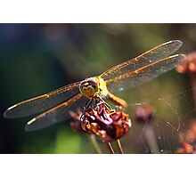 Golden Wings of A Dragonfly Photographic Print