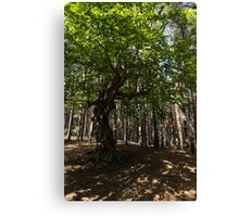 Venerable Forest Guardian - an Ancient Beech Tree Guarding a Pine Forest Canvas Print