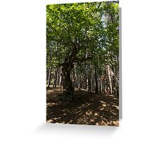 Venerable Forest Guardian - an Ancient Beech Tree Guarding a Pine Forest Greeting Card