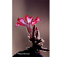 IMPALA LILY – Adenium – multiflorum Photographic Print
