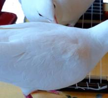 Musical Doves - Ukulele NZ Sticker