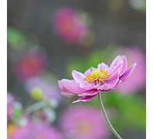 Cosmos Flower Photographic Print