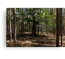 Surrounded - an Ancient Beech Tree in a Pine Forest Canvas Print