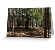 Surrounded - an Ancient Beech Tree in a Pine Forest Greeting Card