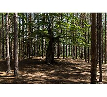 Surrounded - an Ancient Beech Tree in a Pine Forest Photographic Print