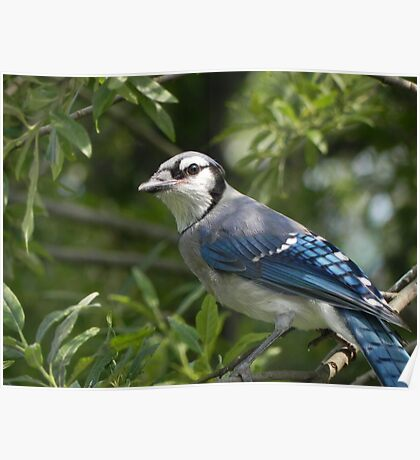Blue Jay In Tree Poster