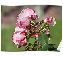 Bouquet. Roses Poster
