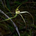Caladenia fragrantissima (Scented Spider Orchid) by Russell Mawson
