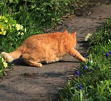 Ginger cat hunting on garden path by turniptowers