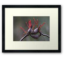 Gum Tree Flower Framed Print