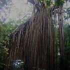 Curtain Fig Tree - Yungaburra, Qld, Australia.  by Liz Worth