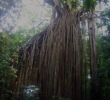Curtain Fig Tree - Yungaburra, Qld, Australia.  by Liz Worth