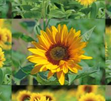 Sunflowers on a Field Sticker