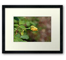 A Wilder Rose Framed Print