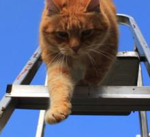 Ginger cat walking down step ladder Sticker