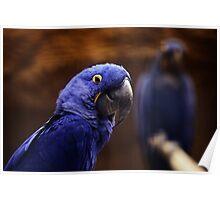 blue Parakeet Poster