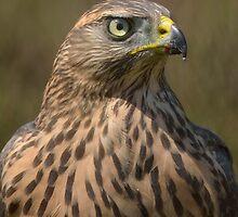 Juvenile Female Northern Groshawk ( Accipiter gentilis) - III by Peter Wiggerman