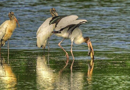Stork Grabs Huge EEL by imagetj