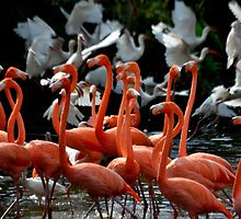 Dance of the Flamingo by insight