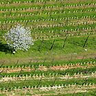 The cherry tree in the vineyard by annalisa bianchetti